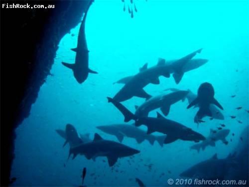 grey_nurse_sharks_2_cave_en.jpg