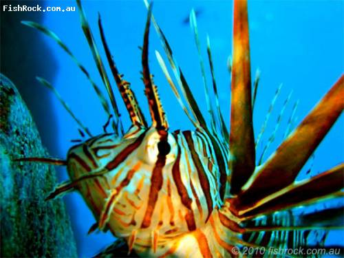 lionfish_closeup.jpg