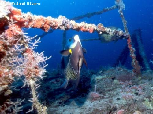 angelfish_nibbling_coral.jpg
