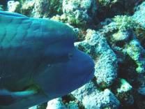 <p>Napoleon wrasse, Daedalus Reef</p>