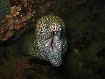 <p>Giant honeycomb moray eel in Oman</p>