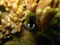 <p>green moray eel</p>