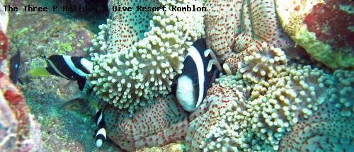 the_three_p_holiday_dive_resort_romblon_88.jpg