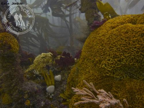 corals_kelp_forest_balcony_dive.jpg