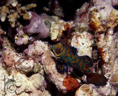 mandrinfish2_bunaken.jpg