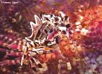 <p>zebra crab riding on fire urchin</p>