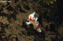 <p>tiny clown frogfish found at ginama point</p>