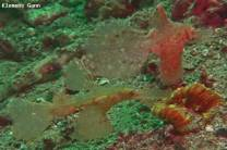 <p>two hairy seagras ghostpipe fish</p>