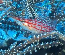 <p>longnose hawkfish are usually seen on gorgonian sea fans</p>