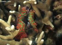 <p>mandarin fish mating behavior</p>