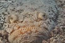 <p>stargazer hidden in sand</p>