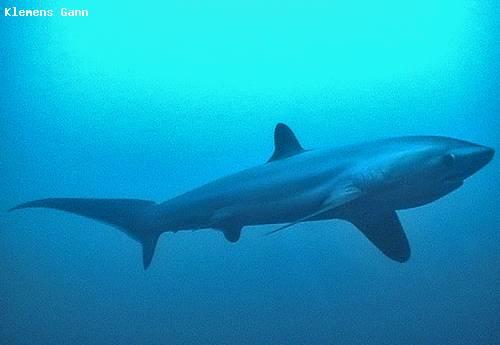 threhsher_shark_close.jpg