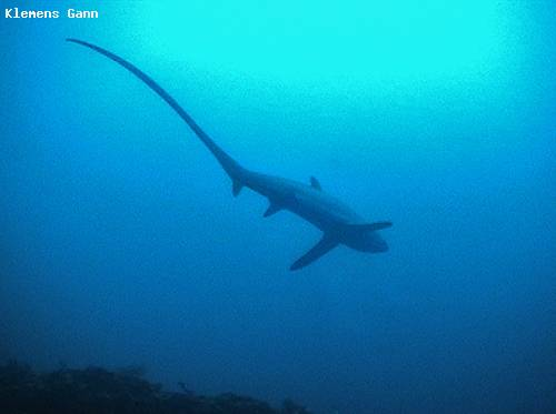 thresher_shark.jpg
