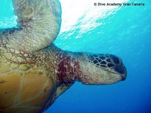 turtle_arguineguin_reef.jpg
