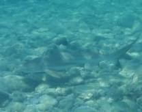 <p>Blacktip Reefshark off Long Beach. They usually appear in groups and stay in the shallows, size ranges from appr. 2 to 6 feet.</p>