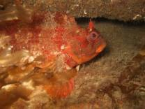Tompot Blenny on the S.S. Runswick Wreck.