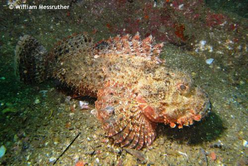 inchcape2_scorpion_fish.jpg