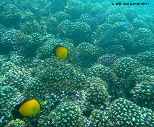 yellow_bannerfish_dibba.jpg