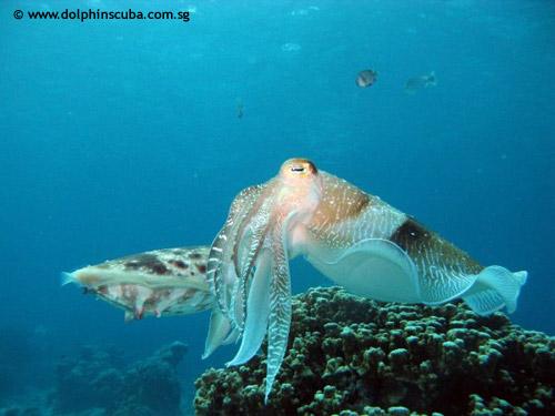 aur_cuttlefish.jpg