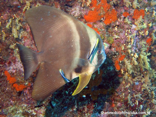 banded_bat_fish_cleaned.jpg