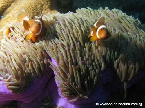 clownfish_pair.jpg