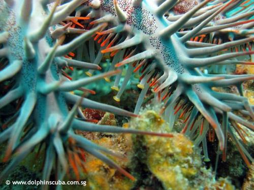 crown_of_thorn_starfish.jpg