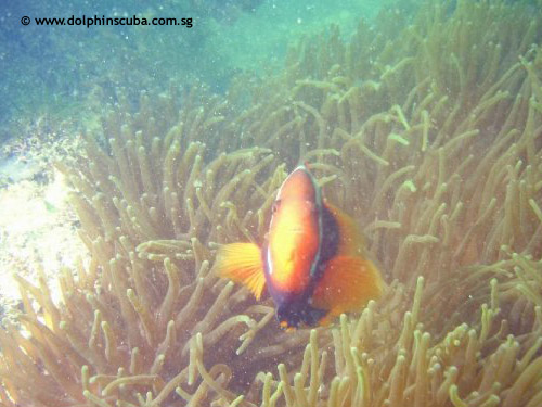 healthy_anemones_clownfish.jpg