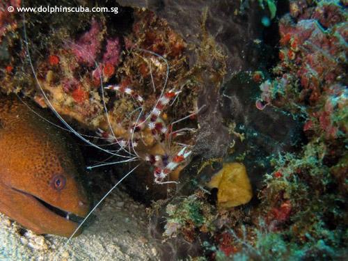 moray_eels_cleaner_shrimps.jpg