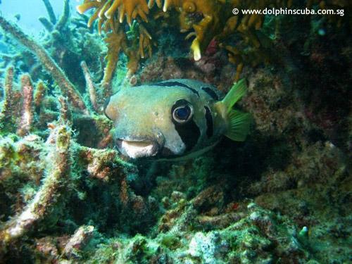 porcupine_fish_divers_lodge_house_reef.jpg