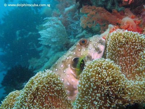 pufferfish_amongst_coral.jpg