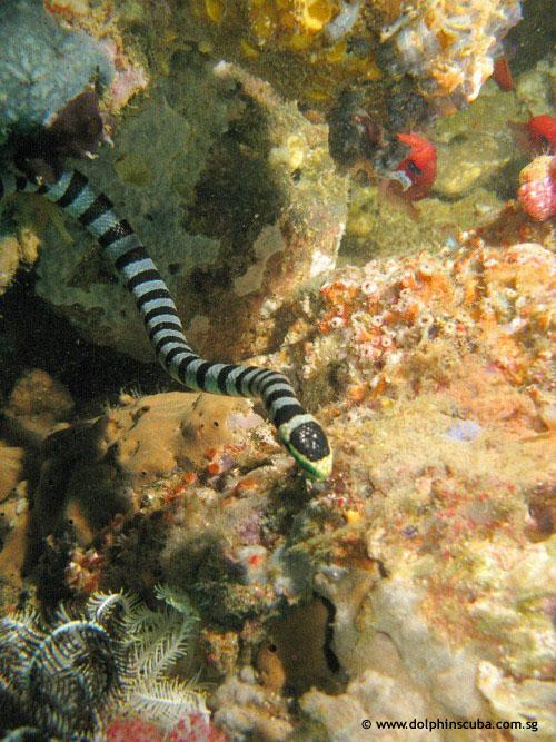 vertigo_banded_sea_snake.jpg