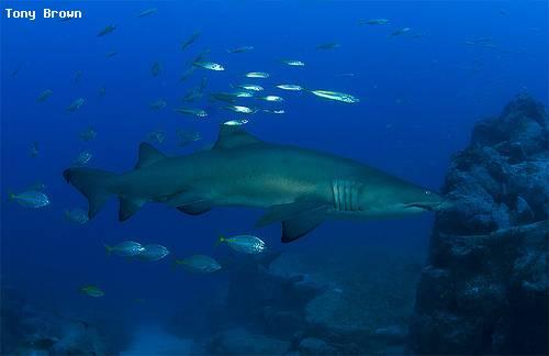 grey_burse_shark_south_west_rock.jpg
