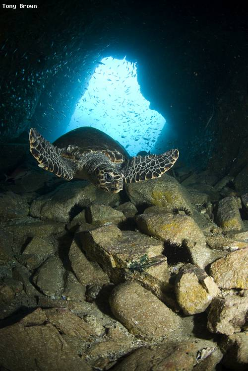 hawksbill_turtle_fish_rock_cave.jpg