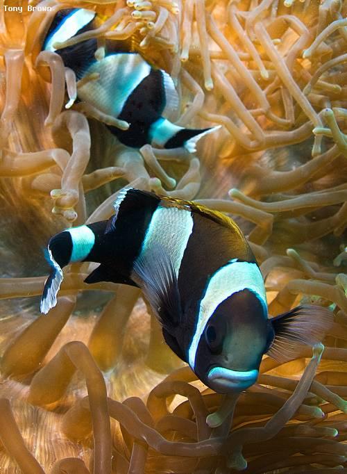 white_band_anemone_fish_swr.jpg