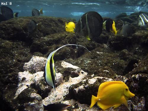 banner_fish_snorkeling_hawaii.jpg
