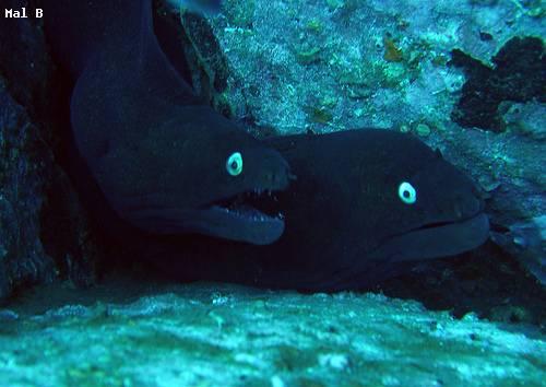 black_moray_eel.jpg