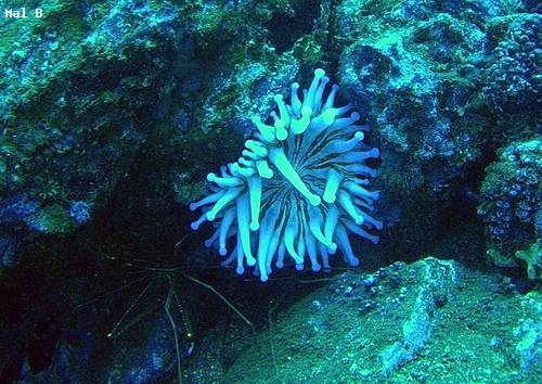 club_tipped_sea_anemone_garajau.jpg