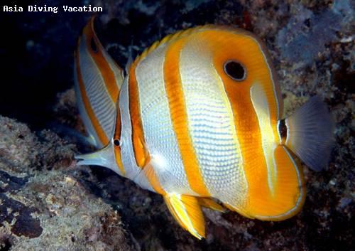 beaked_coralfish.jpg