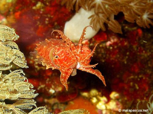 cuttlefish_juvenile.jpg