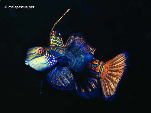 mandarin_fish_lighthouse_reef.jpg