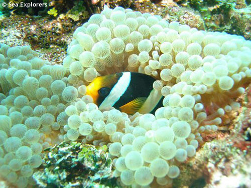 clarks_anemone_fish_in_bulb_tentacle.jpg