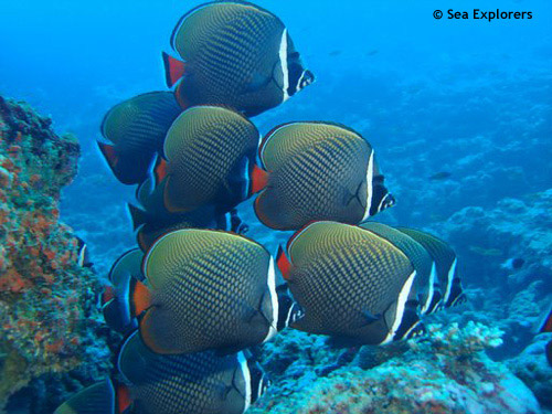 head_banded_butterfly_fish.jpg