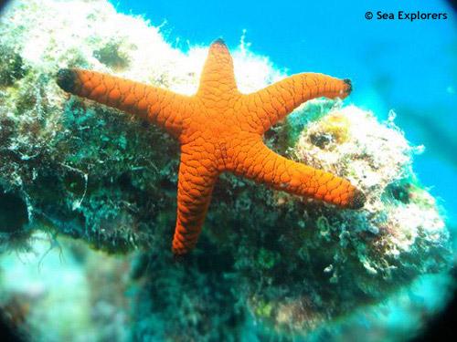 orange_indian_sea_star.jpg