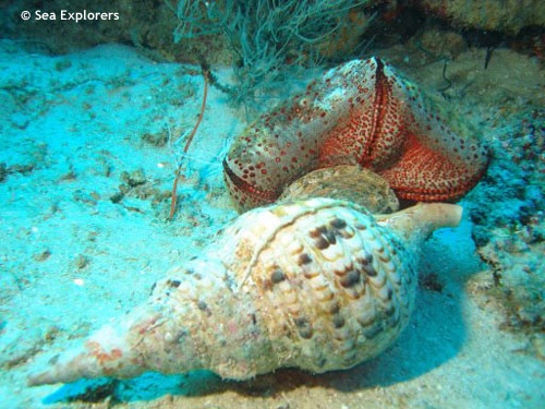 triton_shell_eating_cusion_starfish.jpg